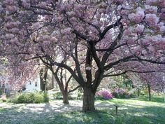Gorgeous Takoma Park cherry tree... photo by Helen Fields