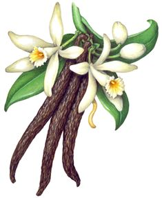 Vanilla plant with two flowers, buds, leaves and three vanilla beans