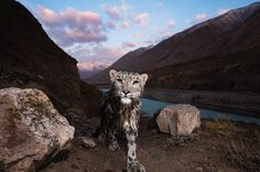 Wild snow leopard. This Trail Camera image gave the photographer one of the best moments of his career. Sebastian Kennerknecht