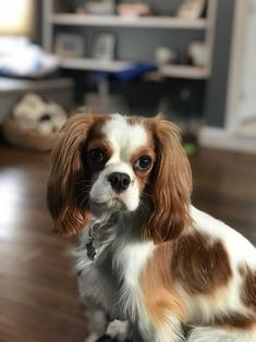 Cavalier King Charles Spaniel – Graceful and Affectionate Spaniels For Sale, Spaniel Puppies For Sale, Spaniel Breeds, Cocker Spaniel, King Charles Spaniel, Cavalier King Charles, Dog Competitions, Puppy Mix, Puppy Facts