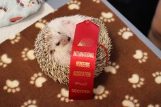 In some rounds, even when only one hedgehog is competing, he is not awarded a first place blue ribbon. This is because hedgehog standards are uncompromising.