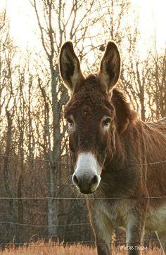 Bucky PVDR-TNSM  ~ Peaceful Valley Donkey Rescue - Smithville, TN  December 2015