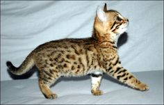 bengal kitten!!! Cuddle like a cat but can be trained like dogs ❤❤❤