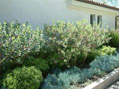Feijoa sellowiana Pineapple guava tree (shrub/tree), Pittosporum karo compactum (low shrubs), Senecio mandraliscae Kleinia (blue ground cover underneath)