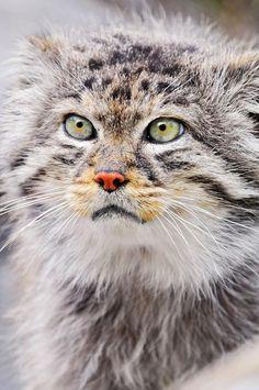Chat de Pallas ou Manul - Le chat de Pallas ou Otocolobus Manul (son nom scientifique) possède des pupilles rondes.  Contrairement aux autres chats sauvages, c'est un très mauvais coureur. De plus, il jappe comme un chien. Le chat de Pallas vit au-dessus de 4 000 m d'altitude, où sa fourrure extrêmement épaisse le protège du froid. Son aire de répartition comprend les prairies et les steppes montagneuses d'Asie centrale. Voir : https://fr.wikipedia.org/wiki/Chat_de_Pallas