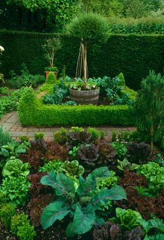 Kitchen Garden - Harpur Garden Images :: veg12d Vegetable garden low box Buxus hedge potager brick path Cabbage lettuce harvest crop edible wooden barrel container pot standard tree Old Rectory, Sudborough UK Jerry Harpur