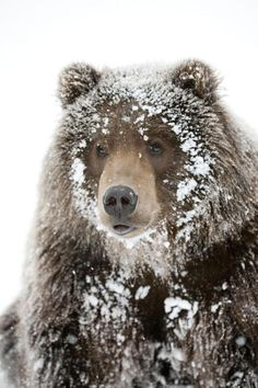 Male Brown bear with a frosty face lying on snow, Alaska Wildlife Conservation Center – Animal Kingdom Beautiful Creatures, Animals Beautiful, Beautiful Things, Animals And Pets, Cute Animals, Animals In Snow, Wild Animals, Baby Animals, Love Bear