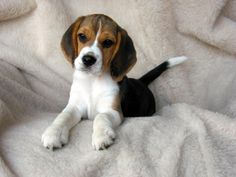 Beagle puppy. this is the kind of puppy i want!