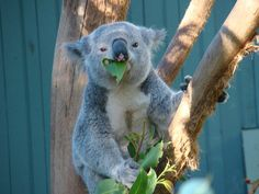 Koala Bear at Taronga Zoo