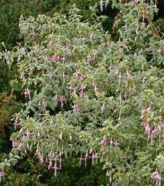 Fuchsia magellanica var. molinae 'Sharpitor' I WANT!