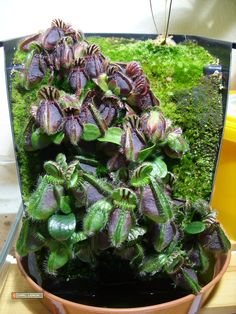Vertical Growing Cephalotus - Page 2 Weird Plants, Unusual Plants, Rare Plants, Exotic Plants, Bog Plants, Growing Plants, House Plants, Paludarium, Vivarium