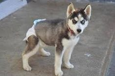 People oftentimes want something that can suit in their family a pet that could become a perfect indoor companion and there is one breed that is capable and its name is miniature husky. Bear Dog Breed, Teddy Bear Dog, Husky Mix, Husky Breeds, Dog Breeds, Husky Dog Names, Alaskan Klee Kai Puppy, Miniature Husky, Husky Colors