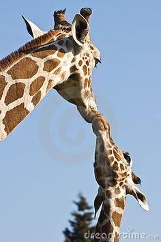 http://thumbs.dreamstime.com/x/giraffe-mother-baby-8654247.jpg
