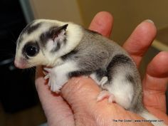 Xavier is a fantastic mosaic male sugar glider with an impressive piebald background!