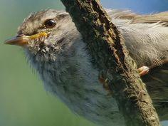 150731sウグイス,bush warbler ,wild bird