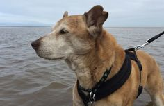 My old man Benji posing for a picture in the sea #aww #cute #cutecats #dinkydogs #animalsofpinterest #cuddle #fluffy #animals #pets #bestfriend #boopthesnoot