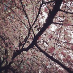 Cherry tree in Berlin
