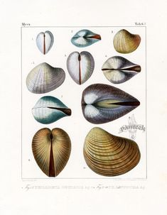 Antique Prints of Shells from Louis Agassiz 1840