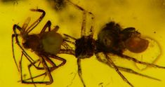 (check out this site to view beautiful photos of fossil insect specimens trapped in amber.) ambra Ragni in accoppiamento? - 22mm - ambra 018.