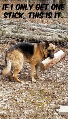 German Shepherd love their sticks. Lol