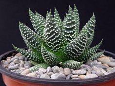 Haworthia minima is a small evergreen succulent plant, with hard, fleshy blue-green leaves that are covered in white tubercles...