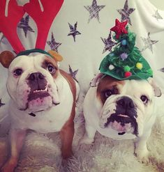 🐶 #bulldog #christmasdog #dogowner #dogowners #dog #dogs #actijoy #twodogs