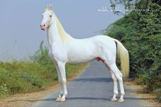 The Most Beautiful and Exotic Horse Coats in the World – Popular Everything - INSPIRATION equus - horses - caballos - pferde - cheval - Most Beautiful Horses, Pretty Horses, Horse Love, Animals Beautiful, Akhal Teke Horses, Andalusian Horse, Friesian Horse, Breyer Horses, Cutest Animals
