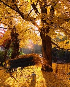 Mother Nature taking care of the outside decor...she changed the curtains and the carpet to autumn yellow.