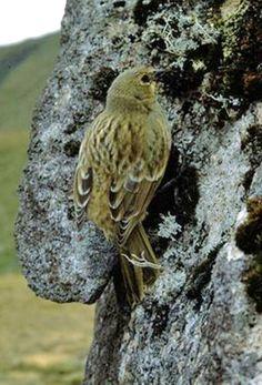 Gough finch or Gough bunting (Rowettia goughensis) female