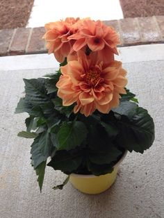 Dahlia (dahlia): This is a tender plant that grows from a tuber.  Where there is significant winter frost, it's best to dig the tubers and store them indoors in a cool, dry, frost-free place after the flowers are spent and the foliage yellows and dies back. Popular as a cut flower in arrangements. Needs full sun and regular water. Comes in a variety of sizes, shapes and a rainbow of colors, depending on the cultivar.   Hi Lindsay, Dahlias thrive in full sun, and also benefits from relief…