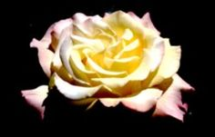 10 Smart Tips for Cutting and Arranging Your Roses: 1946 AARS Winner - Rosa 'Peace'