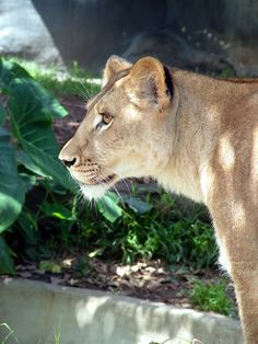 Lioness, Taronga Zoo, Sydney, Australia