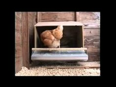 Ezynest in Action - EZYNEST poultry rollaway nest boxes