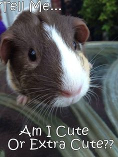 Mikay just recently turned 1.  Thanks goes to Juvily for sharing!!  Guinea Pigs   Timothy Hay Delivered Fresh\/Direct! Click   FbookFriends: Use code softNgreen For Free Shipping  #smallpetselect