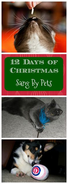 What is our pets sang the 12 Days' of Christmas? See the version from your dogs and cats here!