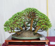 bonsai portulacaria - Google Search