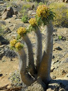 Pachypodium namaquanum - Elephant's Trunk, Club Foot is an usually single-stemmed succulent plant or small tree, growing extremely slowly...
