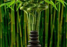 DE TODO UN POCO: Feng Shui: la Caña de Bambú.