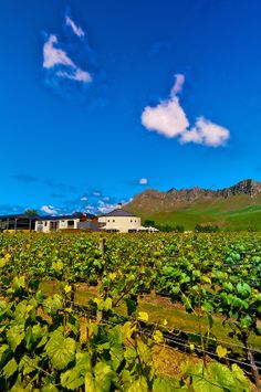 Vineyards of the Craggy Range Winery (Te Mata Peak in background), Havelock North, Hawkes Bay, North Island, New Zealand Long Island Winery, Havelock North, Wine Coolers Drinks, Wine Vineyards, South Island, Small Island, British Isles, Pacific Ocean, Wine Country