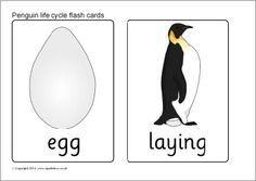 Penguin life cycle flash cards (FREE)