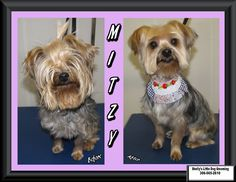 Mitzy was back! She decided to get a whole new look for the New Year. Small Breed, Little Dogs, Yorkshire Terrier, Dog Grooming, Yorkie, Your Dog, Puppies, Little Puppies, Yorkshire Terriers