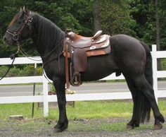 Prince, a Canadian Horse (rare breed). Looks like a Friesian, but has the natural ability to jump. Canadian Horses are very versatile and will do their best to please you.