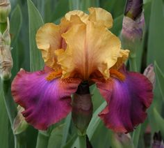 TB Iris germanica 'Gala Madrid' (Peterson, 1967)