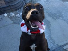 TO BE DESTROYED 12/20/13 Brooklyn Center -P SABIA. My Animal ID # is A0987149. female black and white pit mix. 1 YR 7 MTHS STRAY 12/11/13 Extremely friendly and loving. Wants to stay close to her person and give hugs! Sabia is very energetic and playful. Loves to run around, but checks in often for some quality pets and then darts off. She seems to have some house training and to like other dogs. This joyful, loving lady can't wait to find her new family - please come check Sabia out!