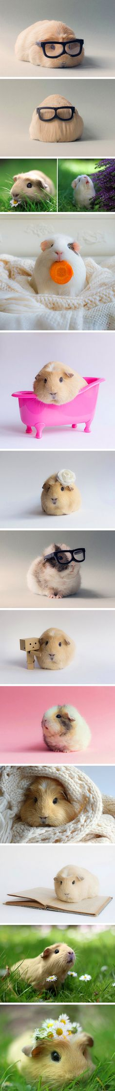 Booboo The Guinea Pig and Friends Get Put in Adorable Images, Become Internet Stars - TechEBlog