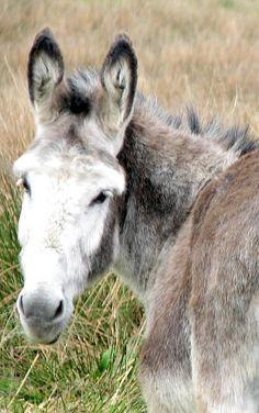 Sweet faced Irish Donkey