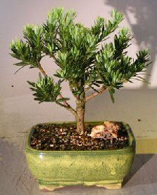 AKA Buddhist Pine or Chinese Yew. Podocarpus is a dense evergreen with pointed, leathery, dark green leaves arranged on stiff, symmetrical branches. The tree wh Indoor Trees, Indoor Bonsai, Indoor Garden, Dorm Plants, House Plants, Podocarpus Bonsai, Buy Bonsai Tree, Bonsai Soil, Aquaponics Fish