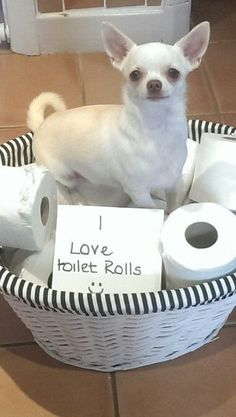 Sweet Potato would totally sleep on those. Join jamie on facebook...jamie a little white chihuahua #chihuahua