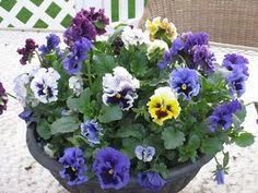 Pansies grow in the winter here and bloom throughout but must be covered during freezes