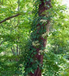 ツルアジサイ 落葉つる性木本 開花時期5~7月